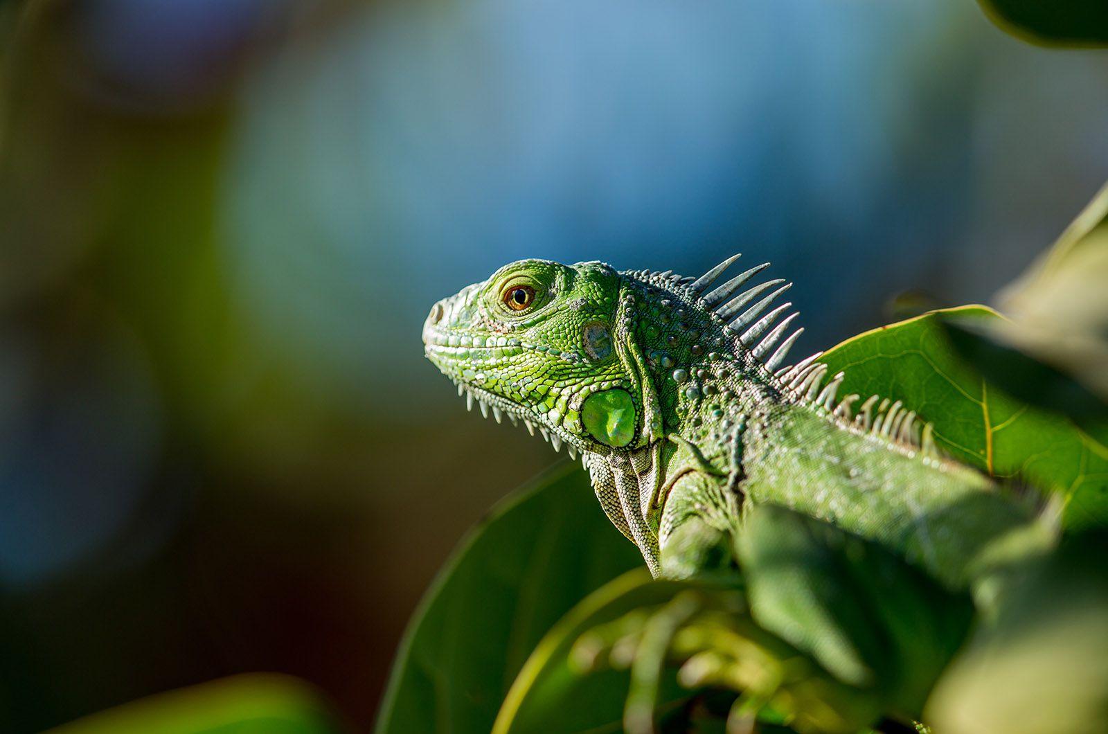 Green Iguana1